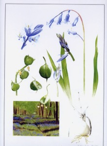 artist-painter-billy-almond_bluebell-flowers-fine-art